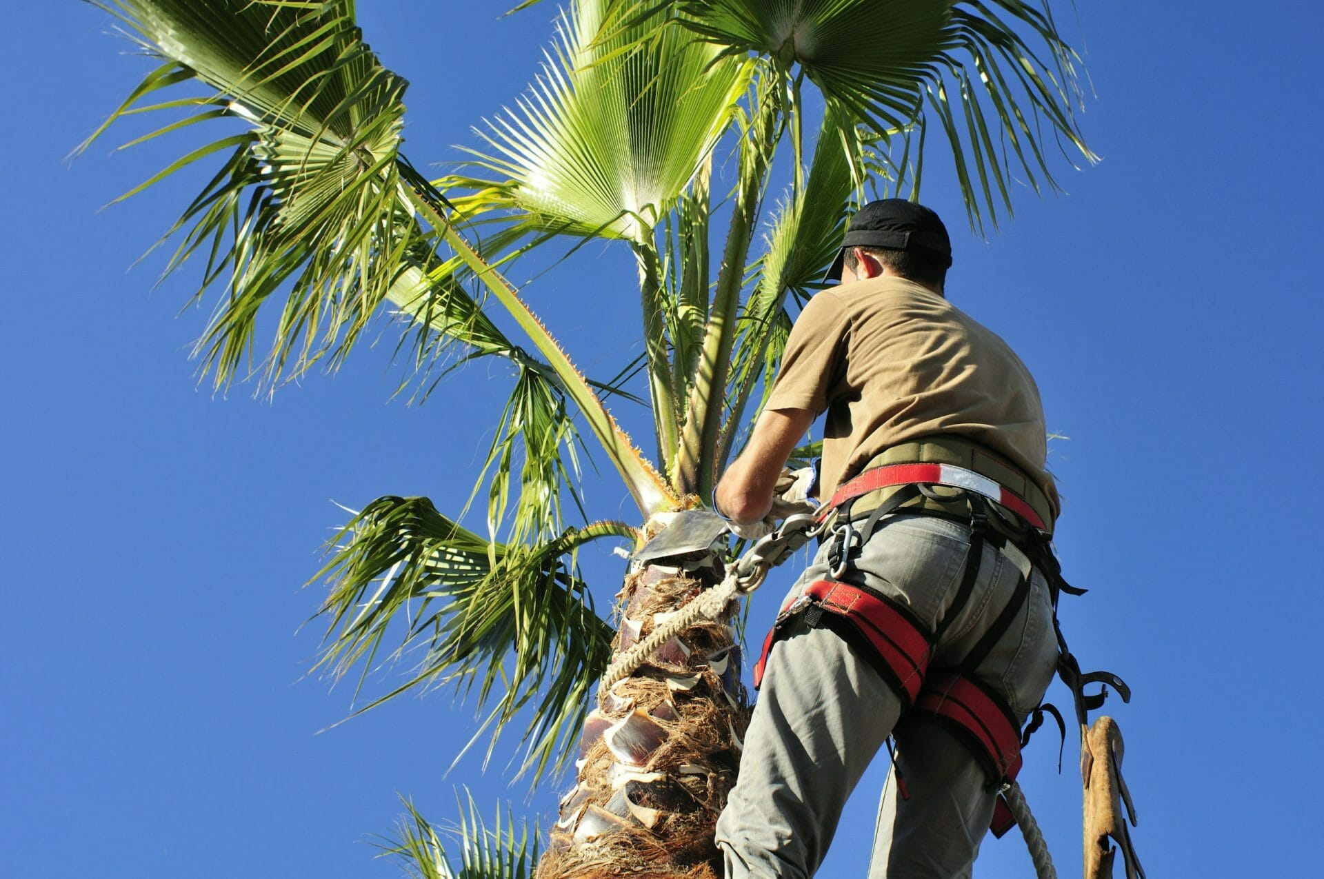 Palm Tree Pruning Services being done